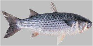 dlgr1-300x140 Deniz Balıkları