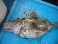 dülger balığ