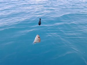 balon_baligi-3 Denizlerimizdeki büyük tehlike