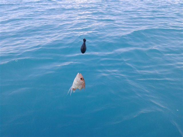 balon balığı/fugu