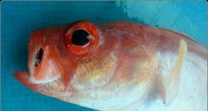 akdenizde farklı bir balık türü