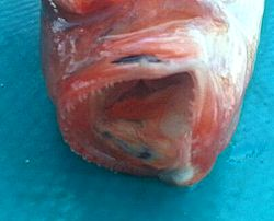 Akdenizde-yen-balık-türü-2-300x100 Akdeniz'de farklı bir balık türü