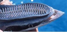 remora Vantuz Balığı Şaşkınlık Yarattı