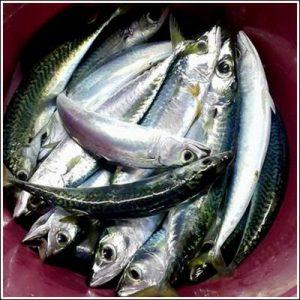 kolyoza-232x300 Kolyoz Balığı Avı Nasıl Yapılır?