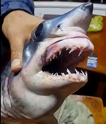 kopekbaligi Antalya Sahilinde Köpek Balığı