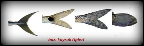 kuyruk-tipleri Balıkların Dış Anatomisi