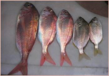 mercanc Mercan avı nasıl yapılır?