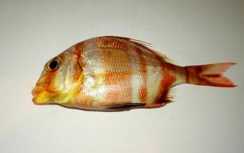 Akdenizin-balıkları-_4 Akdeniz'in Balıkları