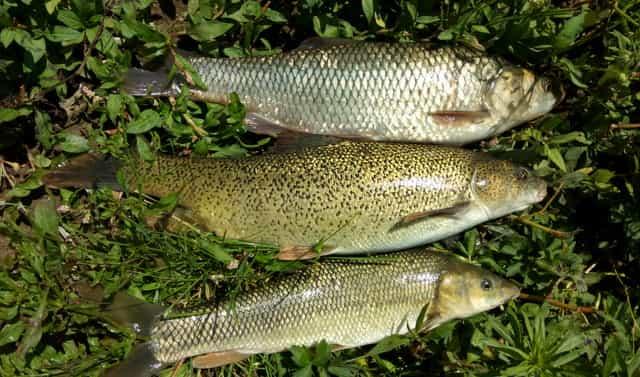 sazan Tatlı Suda Balık Avı