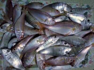 kundu_balik1 Akdeniz'de Balık Şenliği