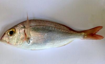 palamut Akdeniz'de Balık Avı