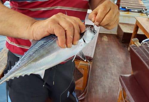 palamut2 Palamut ile Tombik Balığının  Farkı